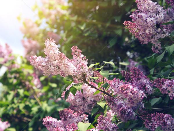 Orgona közelkép gyönyörű virágok levelek absztrakt Stock fotó © Leonidtit