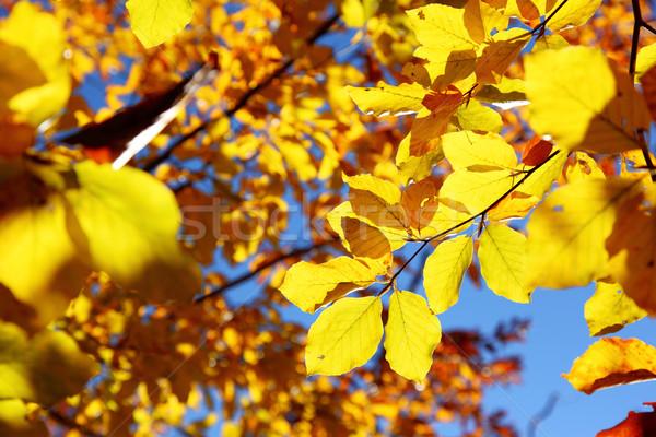 Laisse lumineuses coloré automne forêt Photo stock © Leonidtit