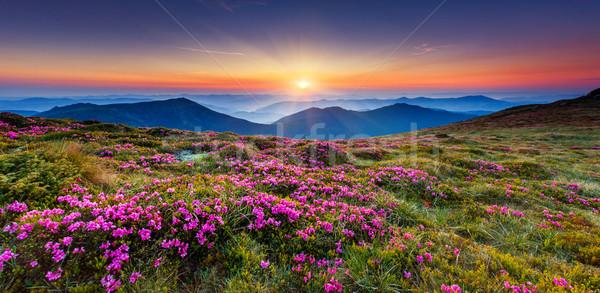 çiçek büyü pembe çiçekler yaz bahar Stok fotoğraf © Leonidtit