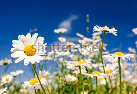 Flor verão campo branco margaridas blue sky Foto stock © Leonidtit