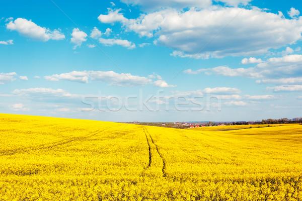 Mező citromsárga virágok kék ég felhők Ukrajna Stock fotó © Leonidtit