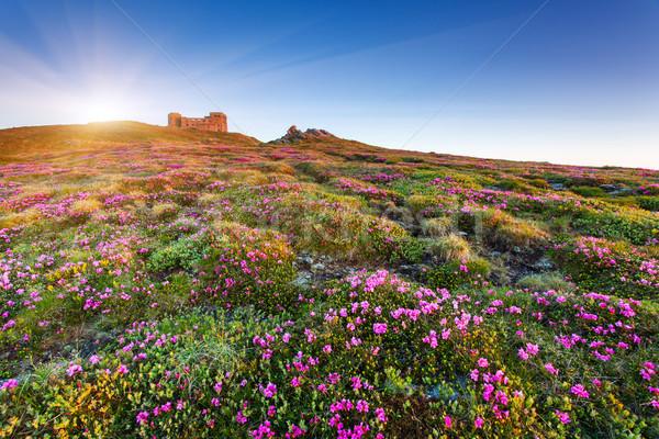 Virág mágikus rózsaszín virágok nyár Ukrajna Stock fotó © Leonidtit