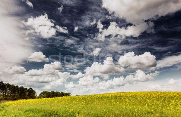 çayır sarı çiçekler mavi gökyüzü kabarık bulutlar Stok fotoğraf © Leonidtit