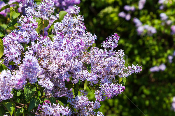 Liliowy piękna kwiaty pozostawia piękna Zdjęcia stock © Leonidtit