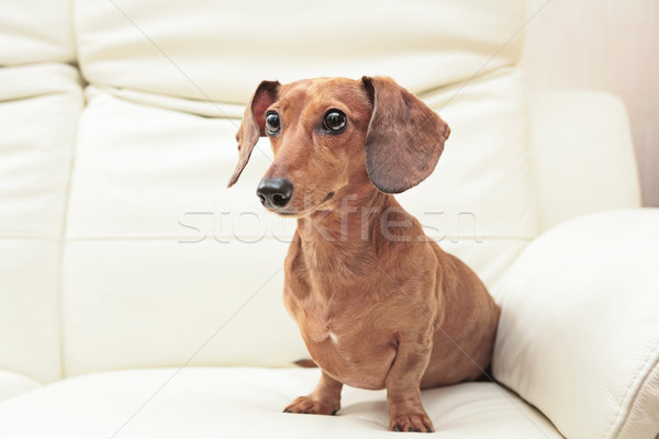 dachshund Stock photo © leungchopan