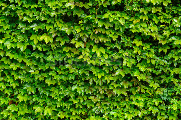 Green ivy leaves wall Stock photo © leungchopan