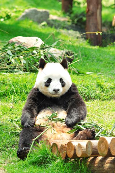 Panda черный несут Азии расслабляющая Cute Сток-фото © leungchopan