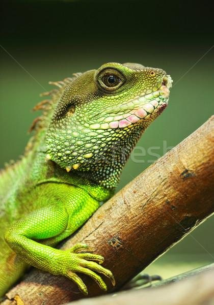 Groene leguaan boom achtergrond dier Stockfoto © leungchopan