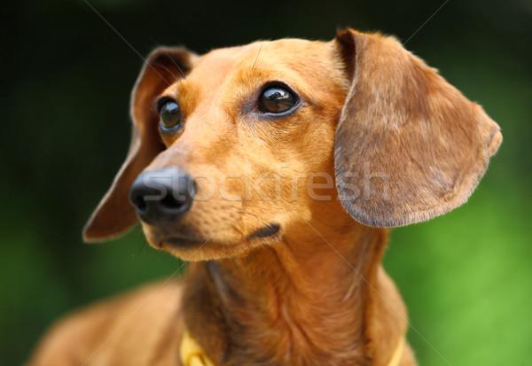 Teckel hond gelukkig natuur jonge dier Stockfoto © leungchopan