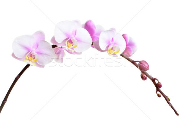 Orchidea fiore design wallpaper bianco bella Foto d'archivio © leungchopan