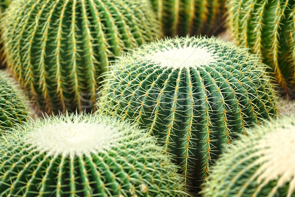 cactus Stock photo © leungchopan