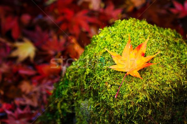 Maple on mossy stone Stock photo © leungchopan