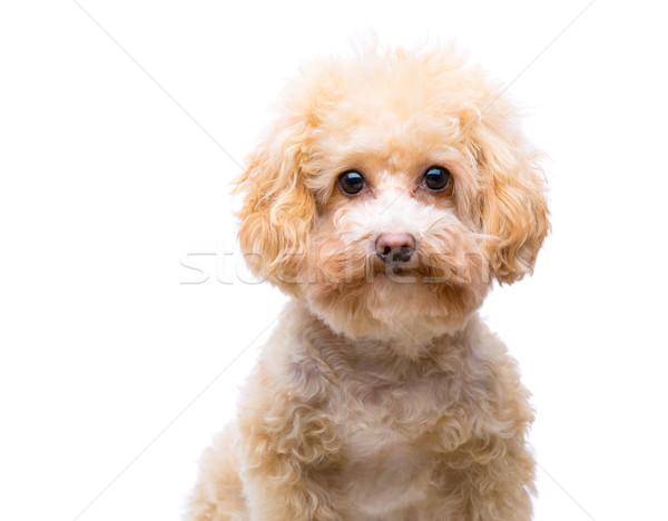 пудель собака фон смешные белый животного Сток-фото © leungchopan
