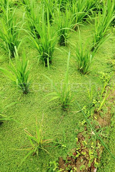 Rijstveld water gras natuur blad veld Stockfoto © leungchopan