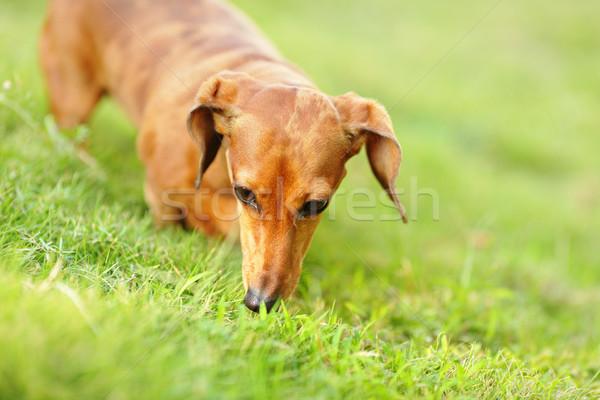 Dachshund perro hierba jóvenes animales pradera Foto stock © leungchopan