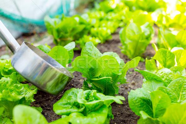 肥料 レタス 自然 葉 健康 フィールド ストックフォト © leungchopan