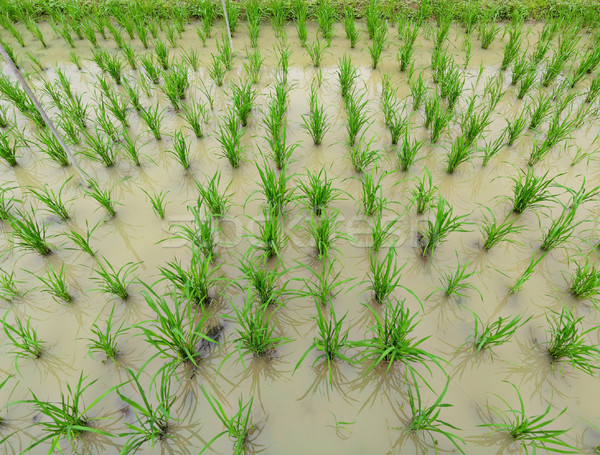 rice field Stock photo © leungchopan