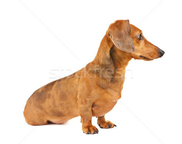 Dachshund dog side view Stock photo © leungchopan