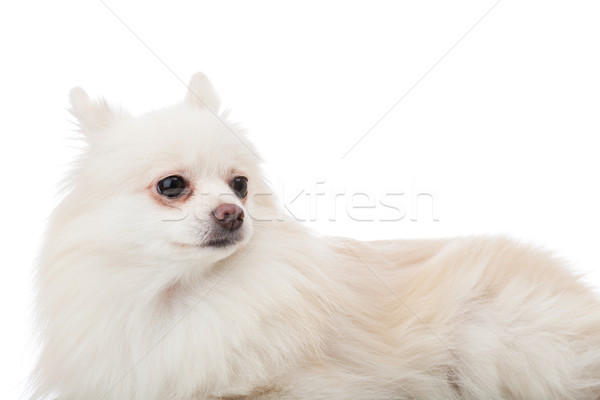 White pomeranian lying down Stock photo © leungchopan