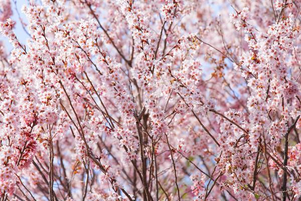 Bella rosa sakura albero primavera sfondo Foto d'archivio © leungchopan