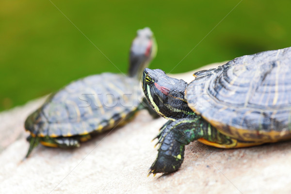 turtle Stock photo © leungchopan