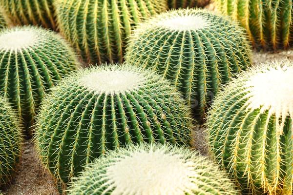 Cactus design jardin désert terre sable Photo stock © leungchopan