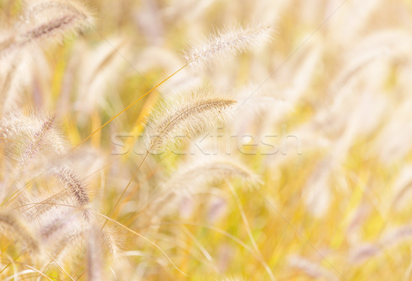 Autumn reed under sunlight Stock photo © leungchopan