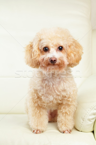 Chien caniche portrait animal brun domestique Photo stock © leungchopan