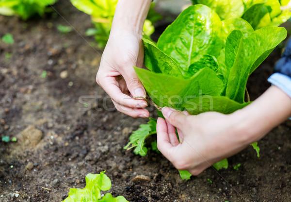 культивировать салата природы лист здоровья области Сток-фото © leungchopan