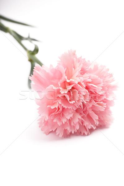 гвоздика розовый цвета счастливым аннотация лист Сток-фото © leungchopan
