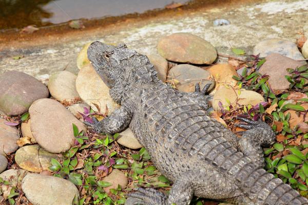 crocodile Stock photo © leungchopan