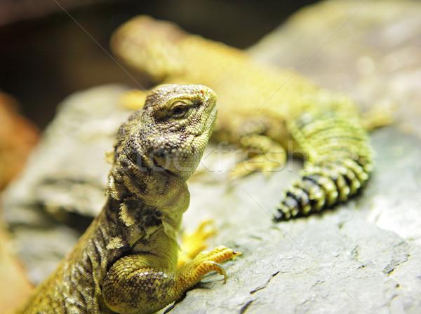 lizard Stock photo © leungchopan