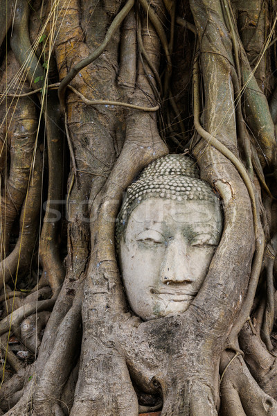 Old tree with buddha head in wat mahathat Stock photo © leungchopan