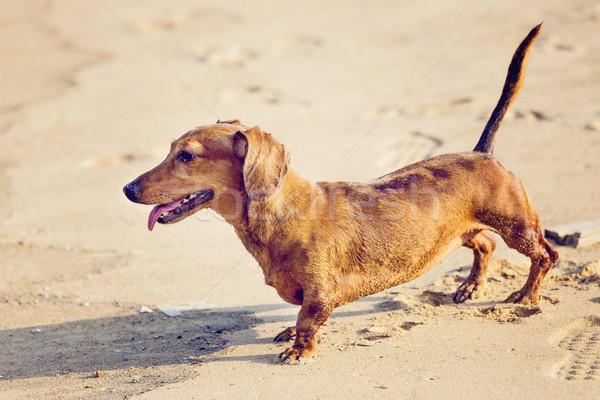 Dachshund Dog in beach Stock photo © leungchopan