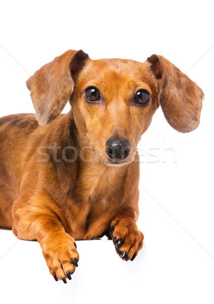 Stockfoto: Teckel · hond · haren · portret · leven · witte