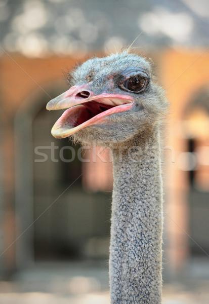 Autruche tête visage oiseau vitesse drôle Photo stock © leungchopan