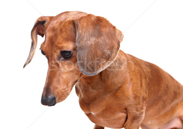 dachshund dog looking down Stock photo © leungchopan