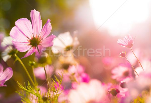 Cosmos flowers under sunlight Stock photo © leungchopan