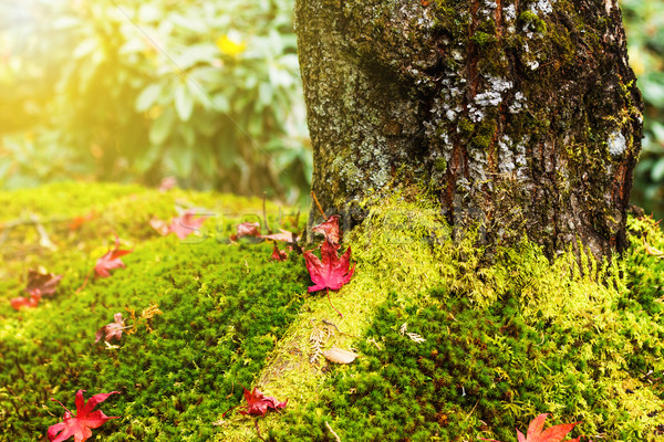 Bordo folhas musgo vermelho outono cair Foto stock © leungchopan