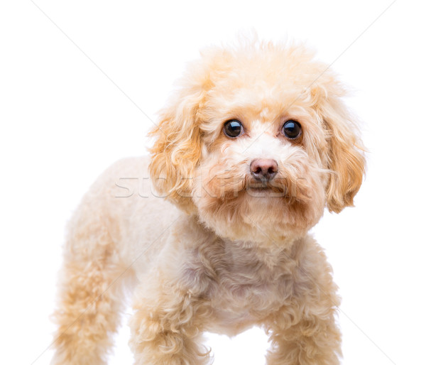 Brown poodle isolated on white Stock photo © leungchopan