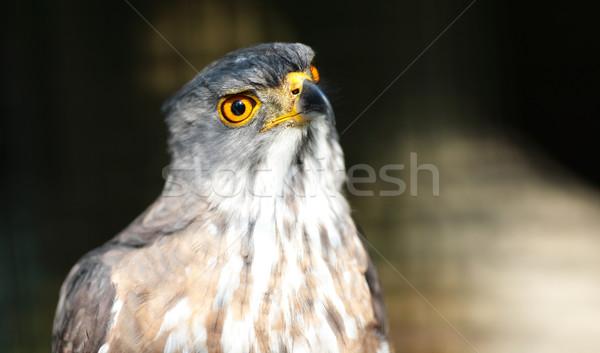Águia natureza pássaro pena animal pipa Foto stock © leungchopan