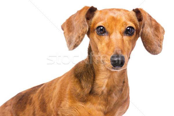 Tacskó kutya portré kolbász díszállat aranyos Stock fotó © leungchopan