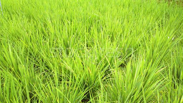 Rijstveld hemel gras landschap achtergrond Blauw Stockfoto © leungchopan