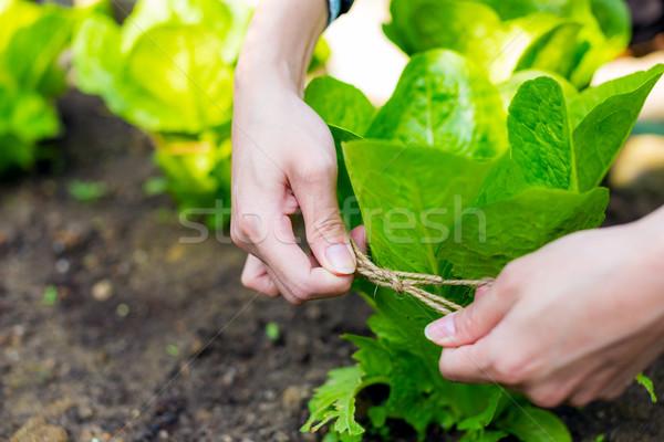 культивировать салата растительное фон лет области Сток-фото © leungchopan