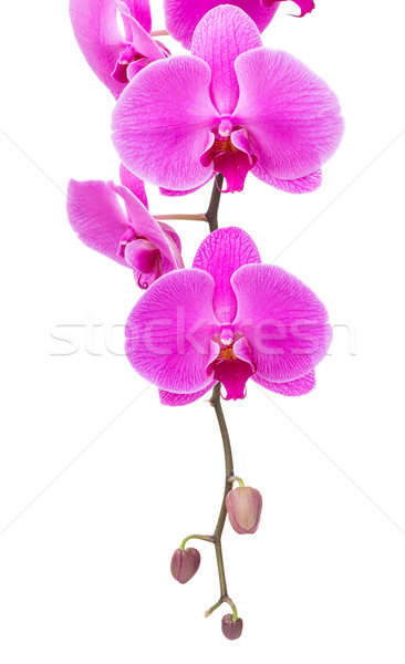 Orchid radiant flower isolated on white Stock photo © leungchopan