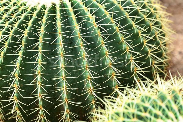 Kaktus wody projektu liści ogród Zdjęcia stock © leungchopan