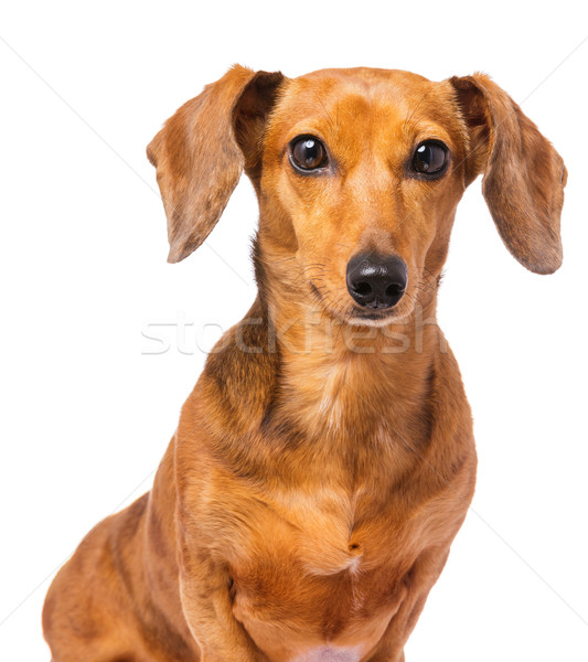 Dachshund dog isolated on white Stock photo © leungchopan
