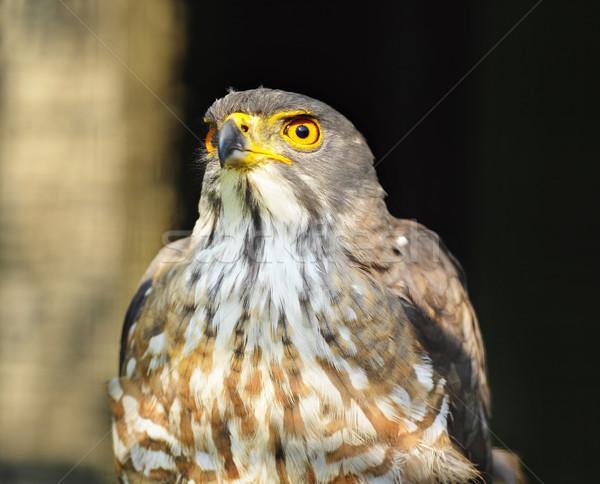 Águia retrato natureza pássaro pena foto Foto stock © leungchopan