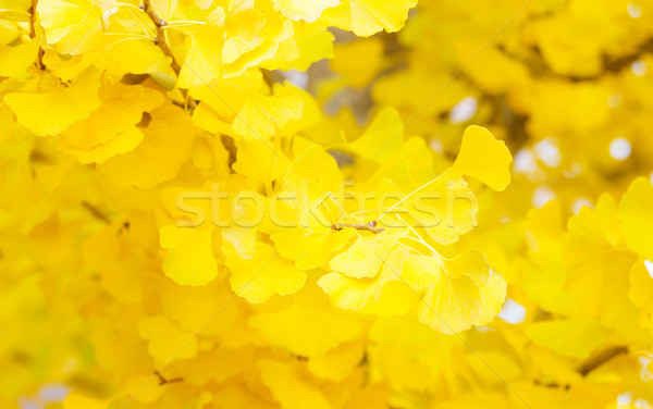 Yellow leaves of ginkgo Stock photo © leungchopan
