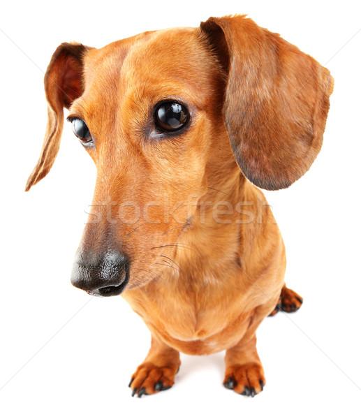 Daksund köpek portre düşünme evcil hayvan Stok fotoğraf © leungchopan